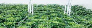 cannabis vertical grow racking