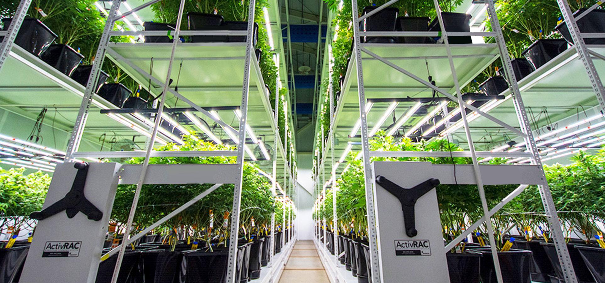 legal cannabis grow room vertical racking